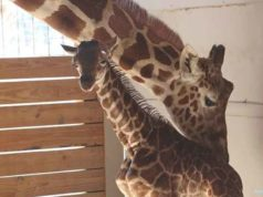 april-giraffe-baby-birth